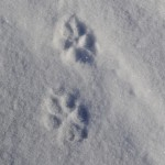 wolf-tracks-6-2